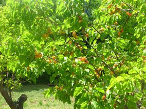 2010.06.16 Abricots chez Noris7