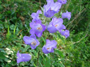 2010.06.25 Fleurs bleues