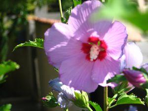 2010.08.02 Hibiscus2