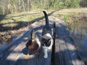 chat-canard.png