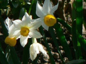 narcissus-canaliculatis-red.JPG