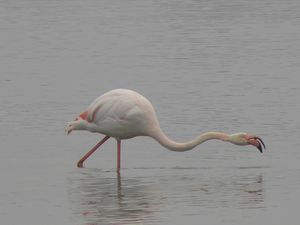 Flamand rose 2
