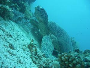tortue-marine-verte[1]