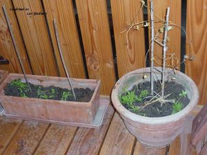 Petits plans de tomate avril 2013