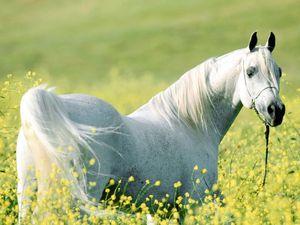 Arabian-Stallion_3964_1024_768.jpg
