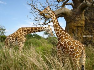 Girafe4.jpg
