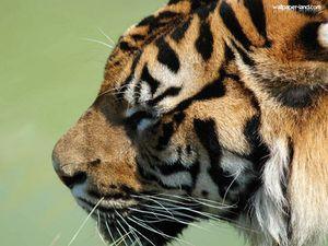 Tigre20.jpg