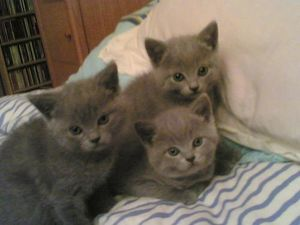 chatons-chartreux.8220328-64196412.jpg