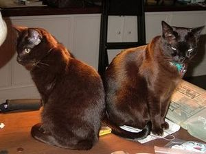 havana-brown-cats.jpg