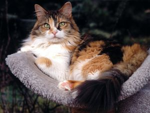 Patches--Maine-Coon-Mix.jpg
