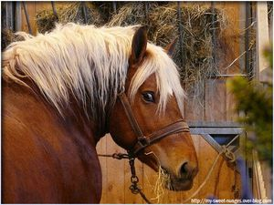 cheval-trait-comtois-01.jpg