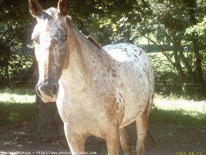 289850-animaux-chevaux-appaloosa.jpg