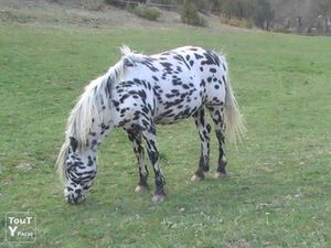 photo1-saillie-de-prince-appaloosa_double-poney-a-vendre-ax.jpg