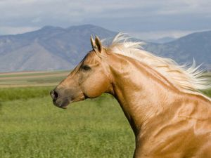 carol-walker-palomino-quarter-horse-stallion-head-profile-l.jpg