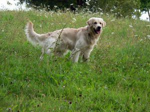 Golden_Retriever_4201.jpg