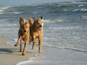 Golden_Retriever_Pet_Friendly_Beach_Rentals_Cape_San_Blas_F.jpg