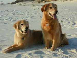 Golden_Retriever_Pet_Friendy_Dog_Beach_Cape_San_Blas_Florid.jpg