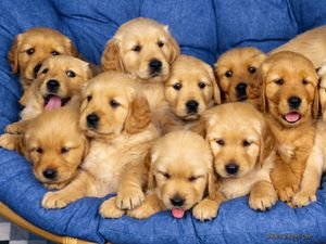 golden-retriever-puppies.jpg