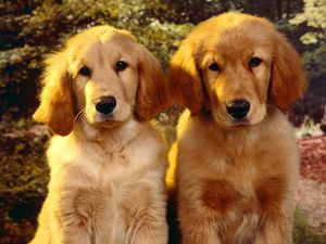 golden_retriever_puppies-1291.jpg