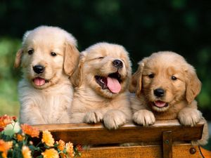 golden_retriever_puppies.jpg