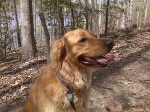 max-the-golden-retriever-at-lake.jpg