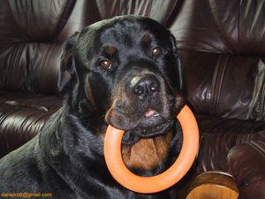 150x150-3-9-5-39534-Rottweiler.jpg