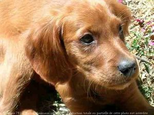416252-animaux-chiens-setter_irlandais_rouge.jpg