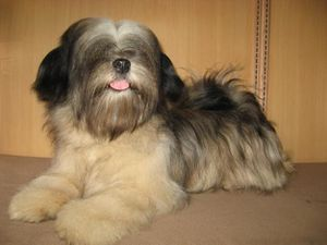 1268137434_79418779_1-Pictures-of--Lhasa-Apso-KCI-REGISTERE.jpg