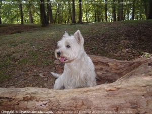 377071-animaux-chiens-west_highland_white_terrier.jpg