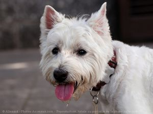 559722-animaux-chiens-west_highland_white_terrier.jpg