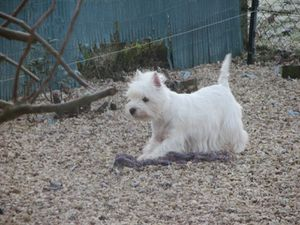 chiens-West-Highland-White-Terrier-3dd750ee-e32c-7bb4-21e2-.jpg