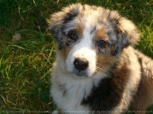 517131-animaux-chiens-berger_australien_shepherd.jpg