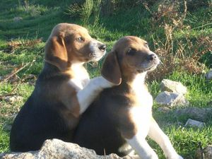 64462566_1-Photos-de-vend-3-chiots-type-beagle-harrier.jpg