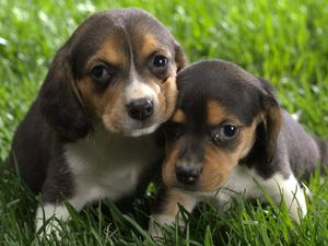 Beagle_Puppies_1024x768.jpg