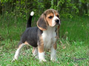 Here-is-a-super-cute-beagle-beagles-5514599-1024-768.jpg