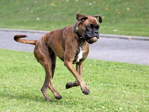 538620-animaux-chiens-boxer.jpg