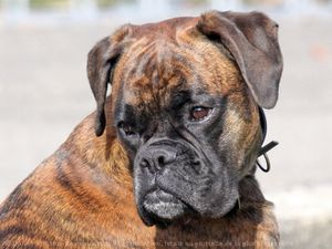 547772-animaux-chiens-boxer.jpg