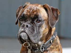 548803-animaux-chiens-boxer.jpg