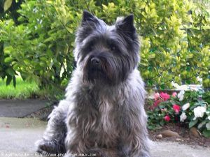 224014-animaux-chiens-cairn_terrier.jpg