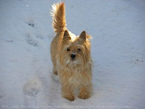 546733-animaux-chiens-cairn_terrier.jpg