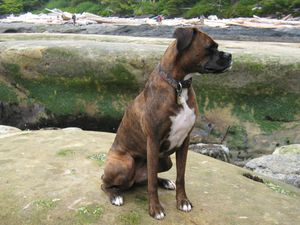Boxer_brindle_sitting_beach.jpg