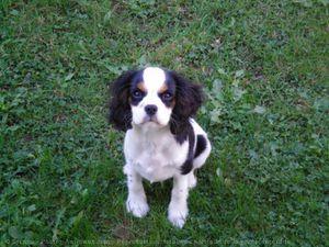 540354-animaux-chiens-cavalier_king_charles_spaniel.jpg