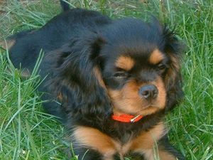 Cavalier-kingCharlesSpanielBuddy12Weeks.jpg