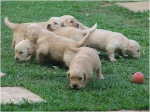 16_11_2009_10_30_5332_Golden_Retriever_16_JPG.jpg