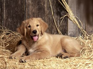 American_Kennel_Club_Golden_Retriever.jpg