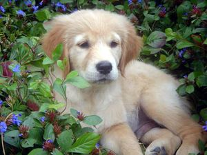 chien-golden-retriever-fleur.jpg