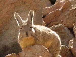 Viscacha 4