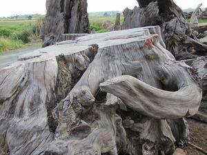 The Northland Ancient Kauri Kingdom