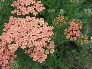 achillea salmon beauty 050526