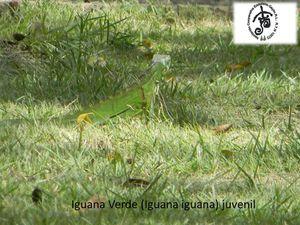 iguana-juvenil.jpg